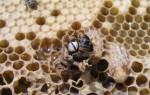Как размножаются пчелы и откуда они берутся