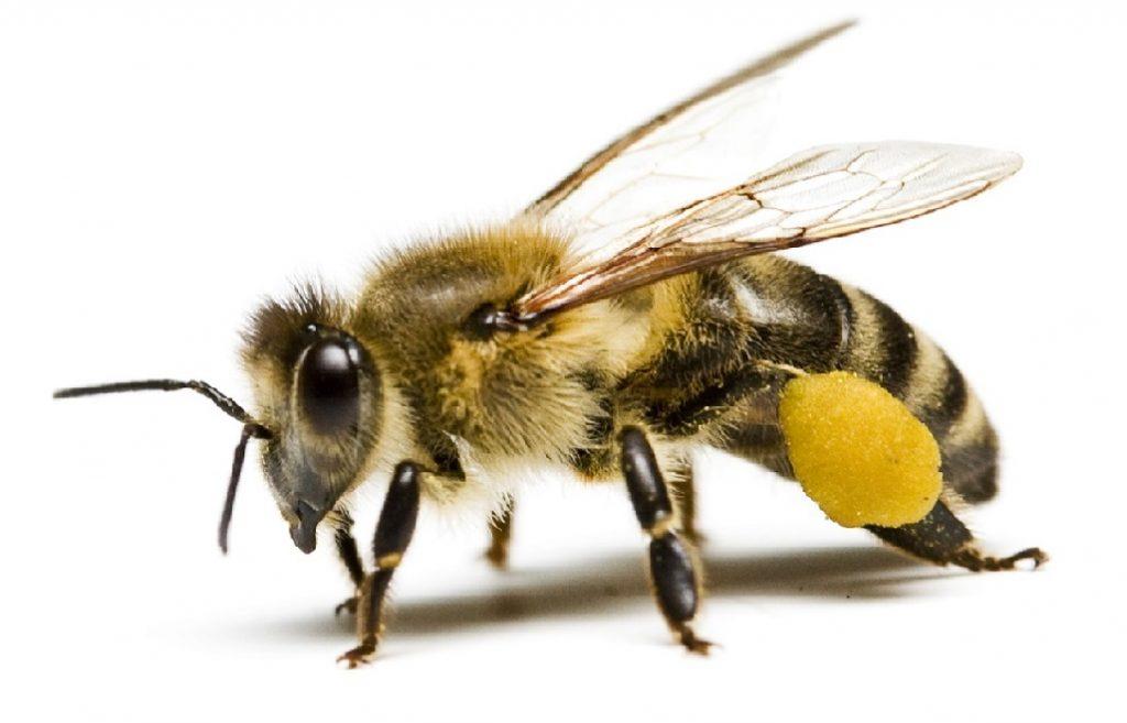 Сбор пыльцы и нектара пчелами и опыление растений